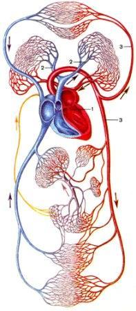 ...сосудов ишемия мозга сердца почек капилляры сердечный центр поглощение кислорода кровоснабжение органов.